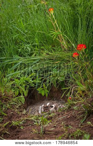 North American Badger (Taxidea taxus) Hidden in Den Snarling - captive animal