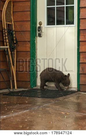 Black Bear Cub (Ursus americanus) Sniffs at Door - captive animal
