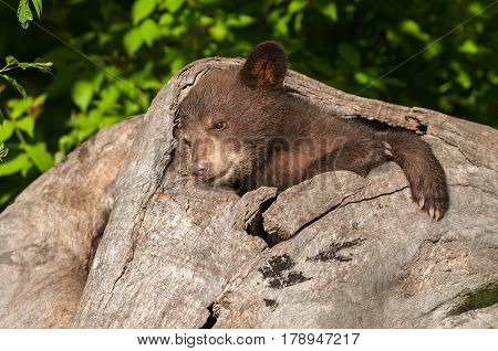 Black Bear Cub (Ursus americanus) Relaxes in Log - captive animal