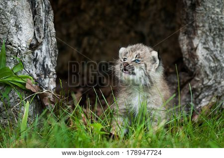 Canada Lynx (Lynx canadensis) Kitten Looks Up in Hollow Tree - captive animal