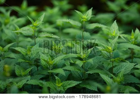 Group of green stinging nettle plant background