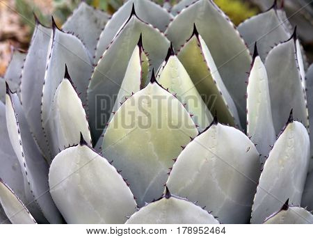 Closeup of an Agave - a Desert Succulent with pointy tips