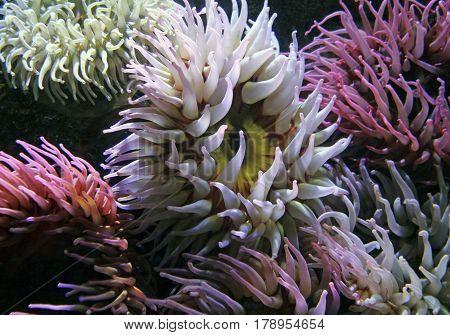 Closeup of Colorful Sea Anemones in an aquarium