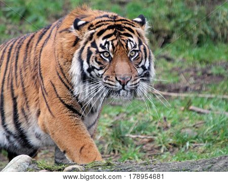 Closeup of a Sumatran Tiger Pacing Nervously