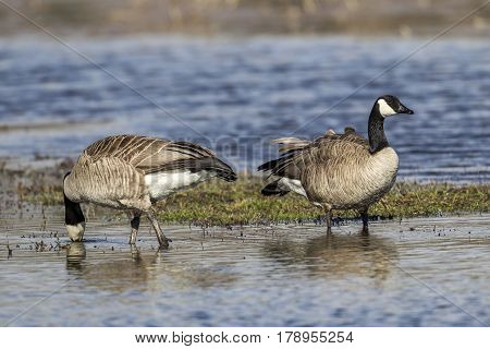 A couple of Canadian Geese are wading in the water of Hauser Lake Idaho.