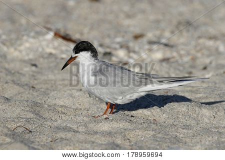 A Forster's Tern, Sterna forsteri changing intp breeding plumage on a beach in Florida in early spring
