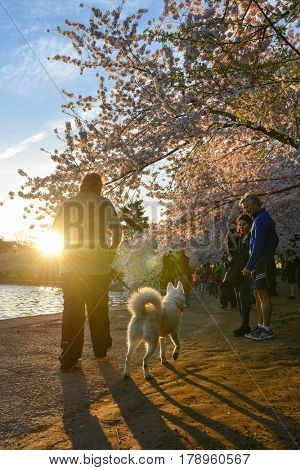 WASHINGTON, DC - APRIL 13 214: Cherry Blossom Festival on April 13, 2014 in Washington DC,USA. The festival is the most popular one in the Capital City of USA