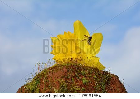 Yellow narcissus (Narcissus pseudonarcissus) with bee before blue  sky on moss