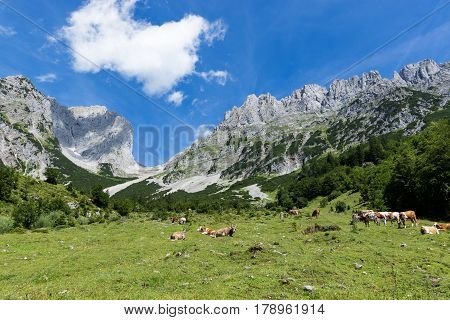 Idyllic mountain landscape with cows in the alps. Austria Kaiser Mountains Tyrol