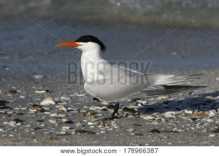 A Royal Tern, Thalasseus maximus stands in it's breeding posture on a beach in Florida in the spring