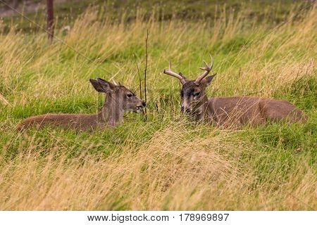 a pair of sitka blacktail deer bucks bedded in tall grass