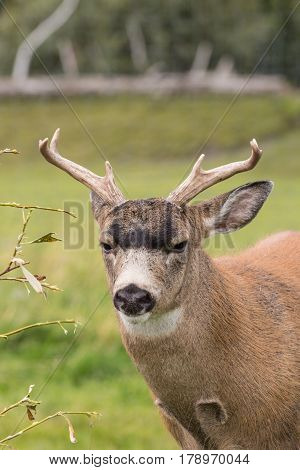 a sitka blacktail deer buck in Alaska