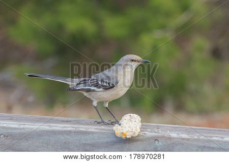 A bird guards a delectable treat on the railing of a wooden deck on a warm day