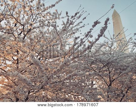 Peak bloom of the Cherry Blossoms during the busiest season for tourism in Washington, D.C. - Photo taken March 25, 2017.