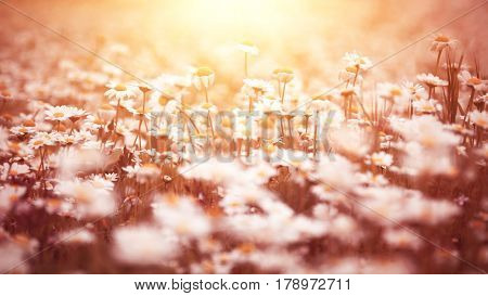 Beautiful daisy flower field in mild yellow sunset light, spring floral background, vintage style photo, beauty of nature