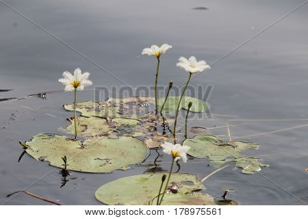 White Feathery Lotus - A bunch in a pond