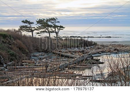 Windswept Trees Silhouetted Against a Cloudy Sunset with the ocean in the background and driftwood in the foreground