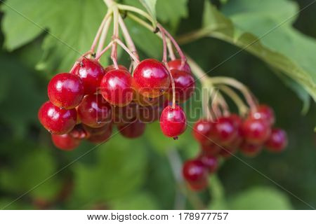 Red bunch of viburnum on a background of green leaves - a useful therapeutic berry