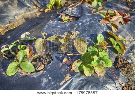 cultivated strawberry fragile seedlings protected by membrane
