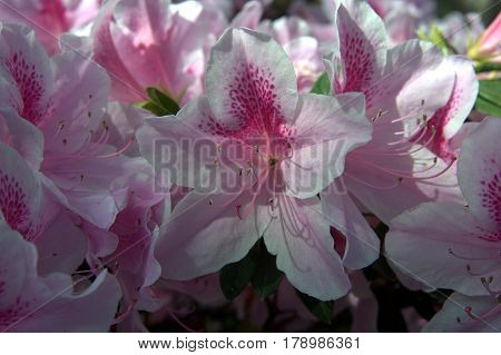bunch of Azalea flowers white and pink macro close up in the sunlight in spring