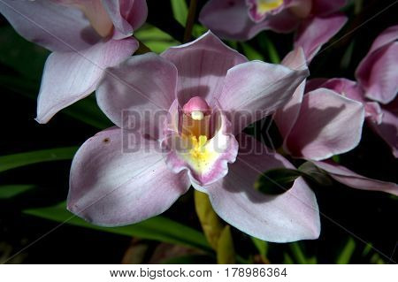 Cymbidium Orchid flower light purple macro up close beautiful lovely