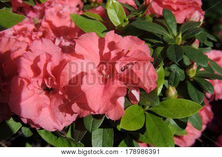 Rhododendron Pink Ruffles Azaleas flowers in full bloom