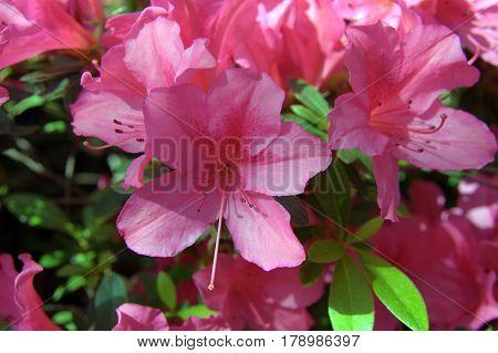 beautiful lovely bunch of Azalea flowers pink in full bloom