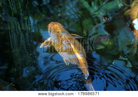 Goldfish swimming in a pond making ripples in the water