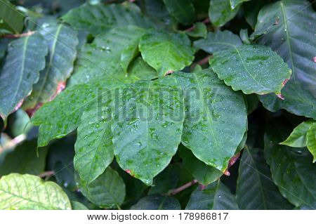Coffee Coffea Arabica green leaves covered with rain drops