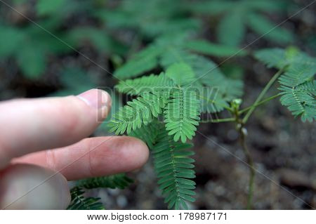 Sensitive Plant being touched by fingers macro close up