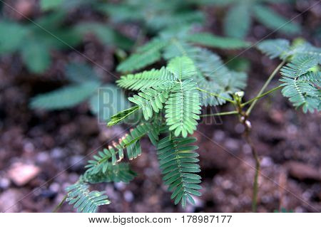 Sensitive Plant green leaves curling up after being touched