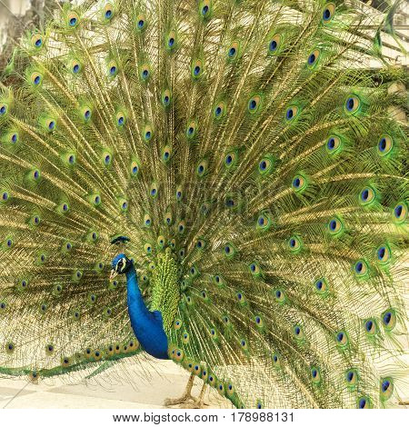 A square photo of a royal peacock displaying its tail in the Retiro park in Madrid, Spain