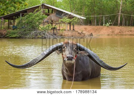 Buffalo with extra long horn in rural of Thailand.
