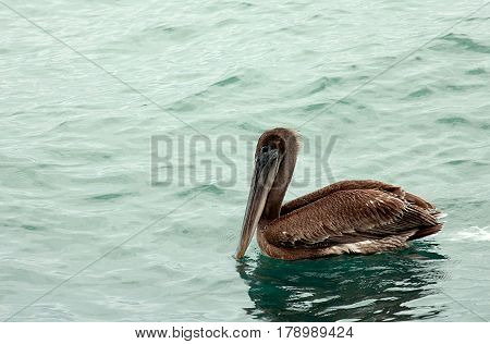 The Pelican. Images was carried out in Florida, Everglades National Park.