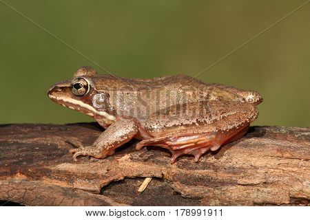 Female Wood Frog (Rana sylvatica) sunning on a log
