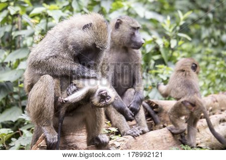 Young Olive Or Common Baboon Grooming In Family