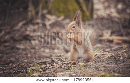 Squirrel in the park. Red squirrel. Squirrel eats on the grass