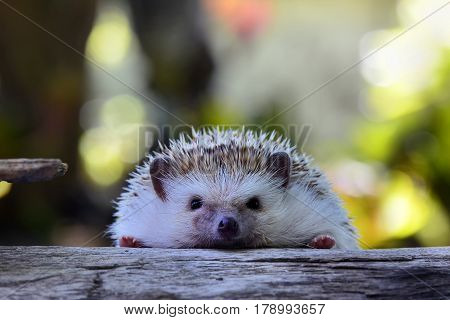 Young hedgehog on vintage log . Hedgehog for your  background .
