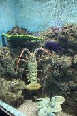 this is a lobster (size 10 inch) poster