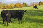 Cows in rural countryside field poster