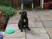 Brown pedigree Staffordshire bull terrier sitting on patio poster