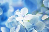 Light soft blue Hydrangea (Hydrangea macrophylla) or Hortensia flower with dew with light coming in.on center flower  Shallow depth of field for soft dreamy feel. poster