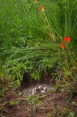 North American Badger (Taxidea taxus) Hidden in Den Snarling - captive animal poster