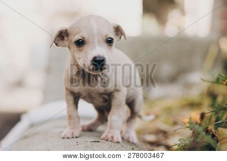 Cute Little Puppy Walking In Autumn Park. Scared Homeless Staff Terrier Beige Puppy Playing In City