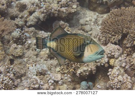 Titan Triggerfish On Coral Reef In Red Sea Off Sharm El Sheikh, Egypt