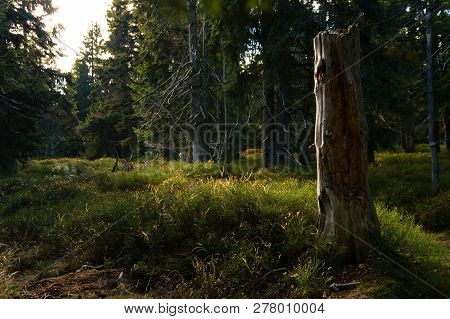 Naturally Growing European Forrest With Dry Dead Trees