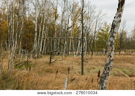 Wild And Untouched Autumn Landscape With Birch Trees And Dry Grass