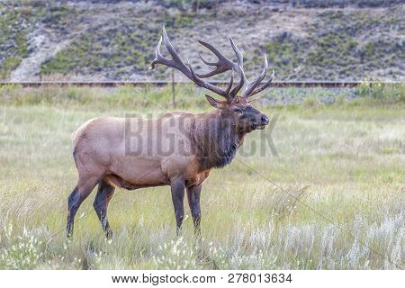 Male Elk Or Wapiti (cervus Canadensis) In Jasper National Park. Alberta. Canada