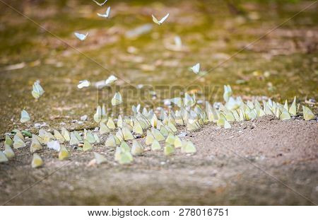 Group Of Butterfly On Ground / The Common Many Yellow Butterfly On Sand Ground And Flying Butterfly