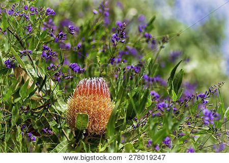 Purple Flowers And A  Bright Colored Banksia